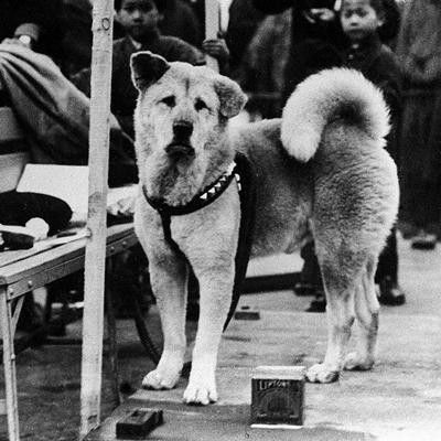 le vrai Hatchiko en 1933